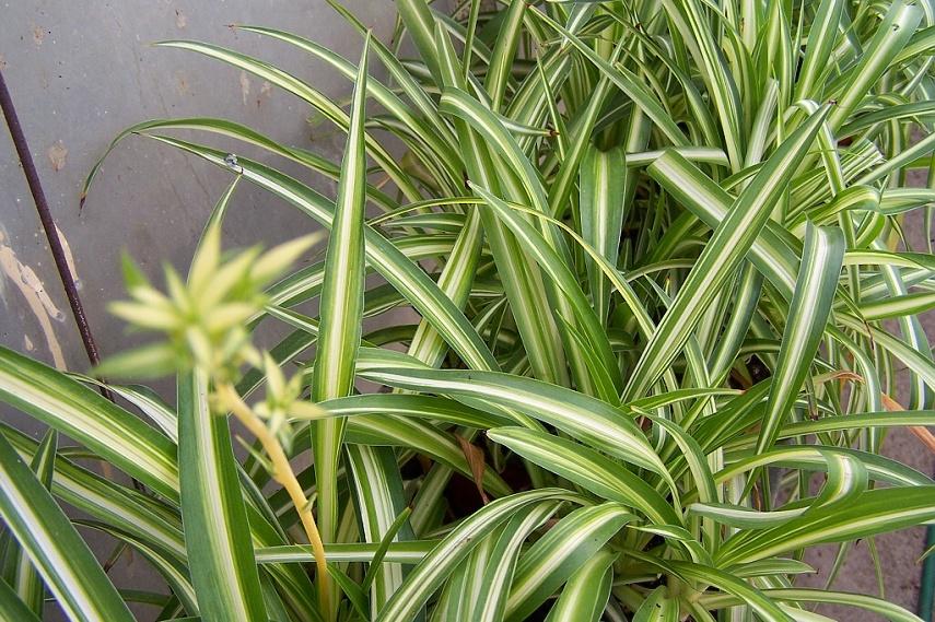 Chlorophytum comosum - zelenec