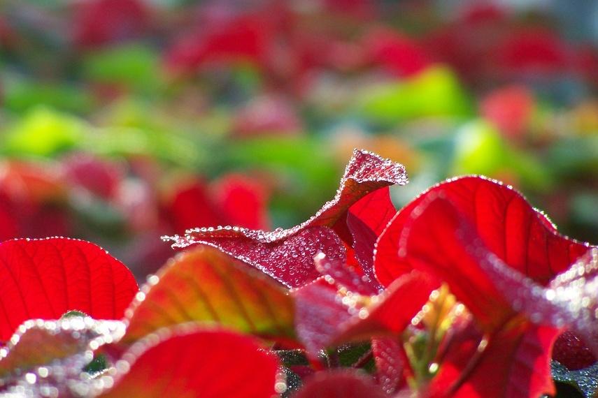Euphorbia pulcherrima - vánoční hvězda