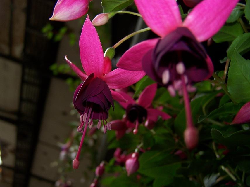 Fuchsia hybrida - fuchsie, fuksie, čílko