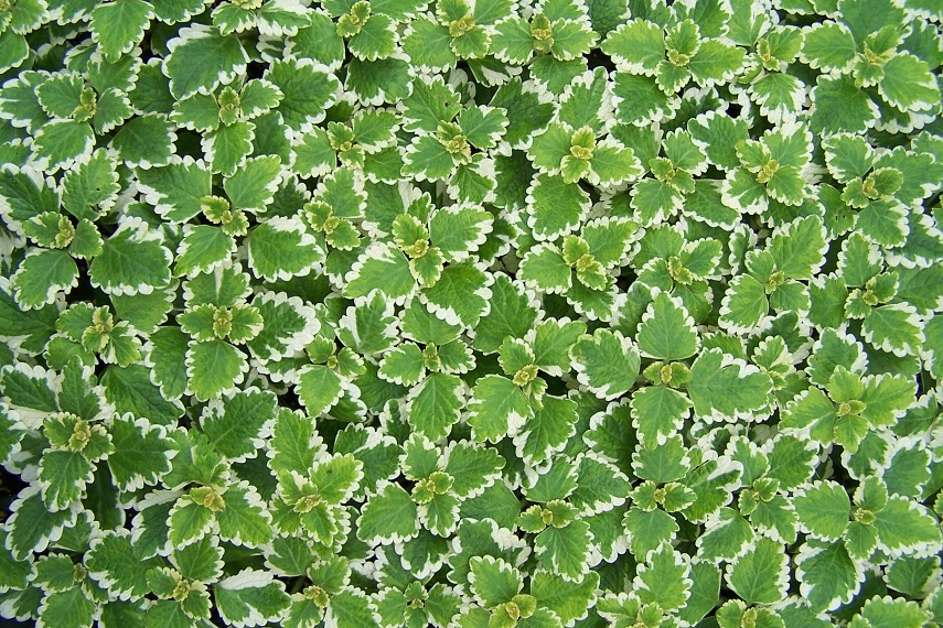 Plectranthus coleoides - molice, moud